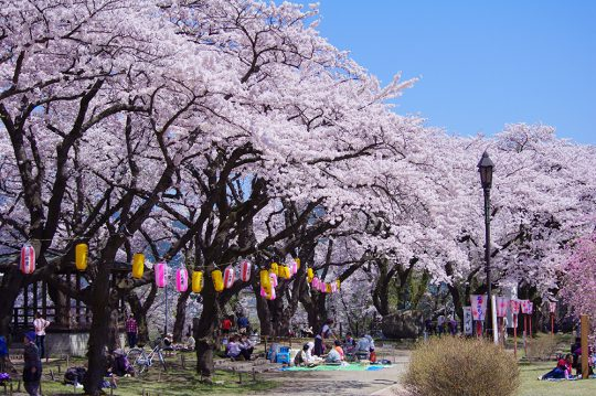 写真:大館桜まつりの様子