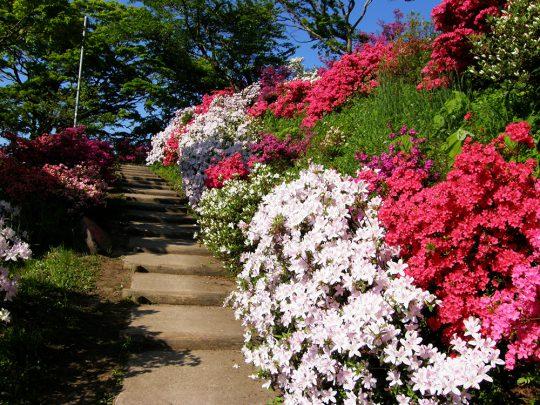 写真:道なりにつつじが咲く様子